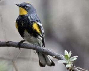 Yellow-rumped Warbler. Photo: Kyle Horton