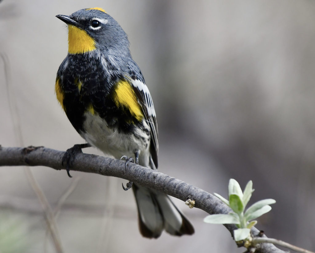 Yellow-rumped Warbler. Photo: Kyle Horton