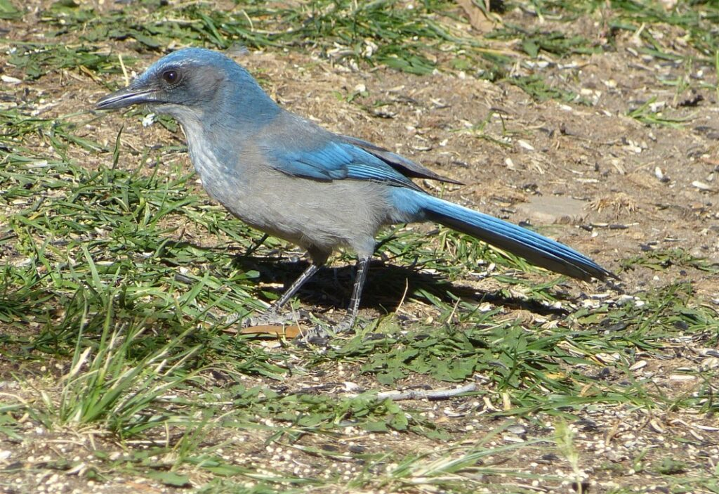 Woodhouse's Scrub-Jay in grass