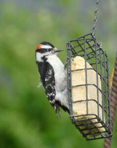 Downy woodpecker feeding at suet feeder