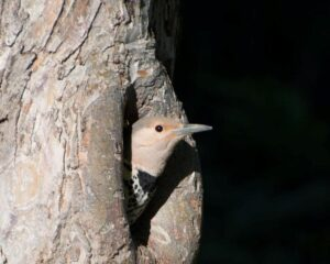 Northern Flicker peaking out of nest