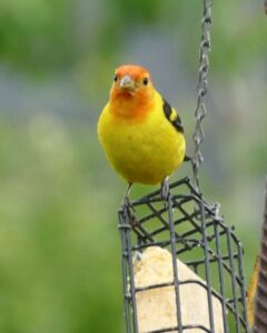 Male Western Tanager perched on suet feeder