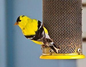 American Goldfinch at feeder.