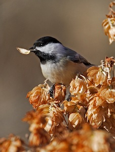 Black-capped Chickadee with seed