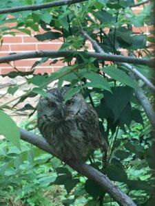 Eastern Screech Owl in leafy tree