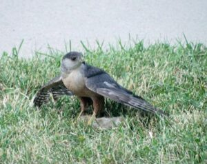 Sharp-shinned Hawk standing on the ground with wings slightly spread
