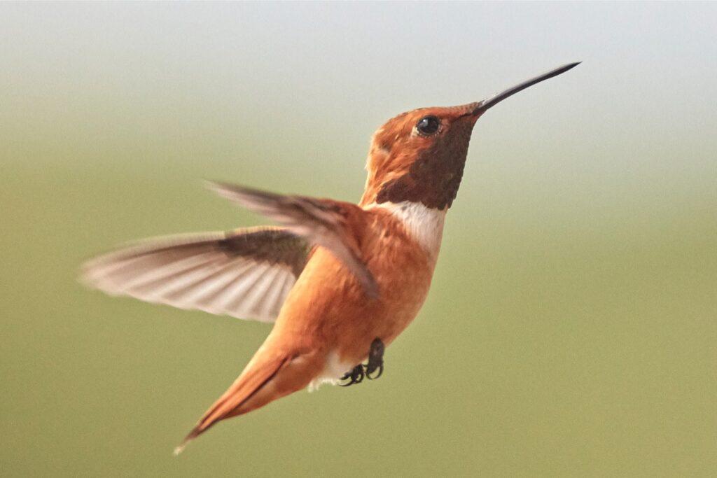 Rufous Hummingbird in flight