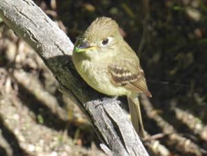 Cordilleran Flycatcher perched on a branch