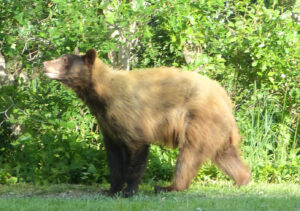 black bear walking on grass
