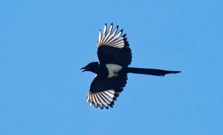Black-billed Magpie in flight