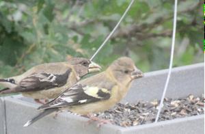 A pair of Evening Grosbeaks eating from a bird feeder