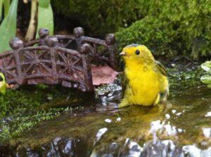 Wilson's Warbler standing in stream