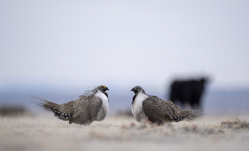 Greater Sage-Grouse lekking with cattle - Evan Barrientos