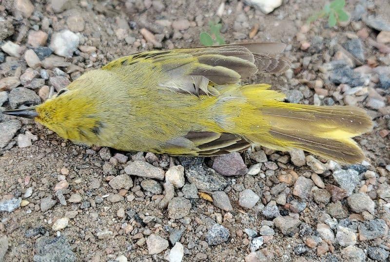 dead yellow warbler
